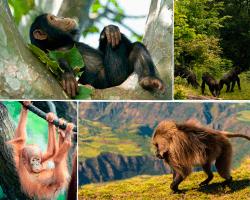 apensar mono chimpance