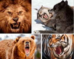 Apensar león rugiendo