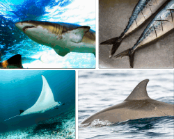 Apensar tiburón