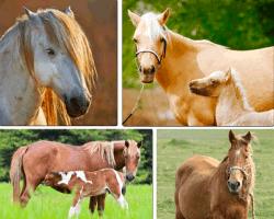 Apensar caballos comiendo pasto