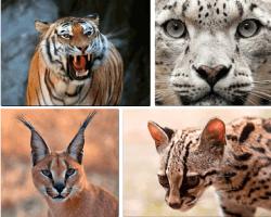Apensar tigre leopardo gato