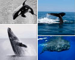 Apensar orca