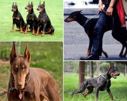 apensar perros compitiendo