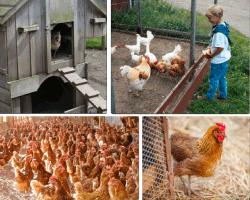 apensar muchas gallinas