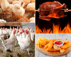 apensar gallinas pollos