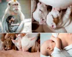 apensar crias de animales