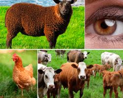apensar oveja gallina vacas