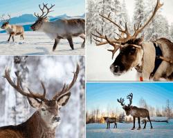 Apensar ciervo con cuernos
