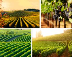 apensar cultivo de uvas