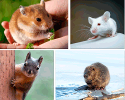 Apensar ratones
