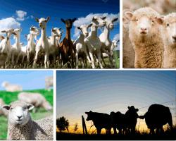 Apensar ovejas
