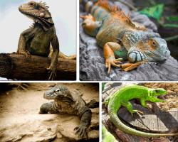 Apensar iguana