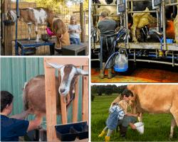Apensar vacas amarradas