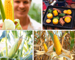 Apensar maíz