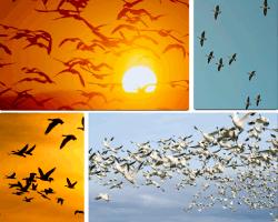 Apensar aves volando