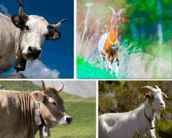 Apensar vaca cabra