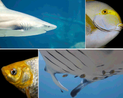 apensar tiburon peces