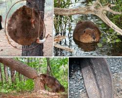 Apensar castor cortando árbol