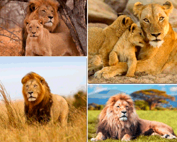 Apensar imagenes de leones