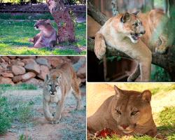 Apensar felino parecido a leona