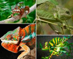 Apensar lagarto verde