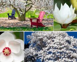Apensar árbol con flores blancas